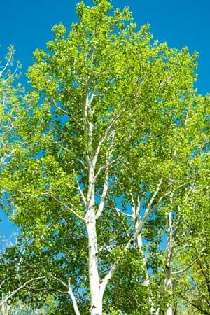 Aspen-Manti-Sol-Natl-Forest-Utah.jpg