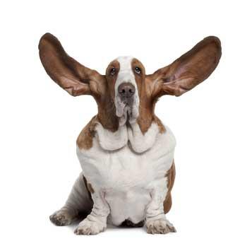 Basset-hound-ears.jpg