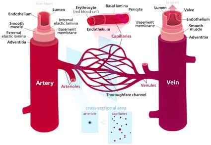 Blood_vessels.svg.jpg