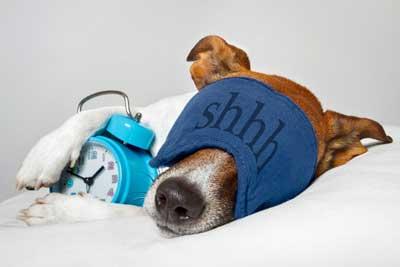Dog-Sleeping-With-Alarm-Clock--40123960.jpg
