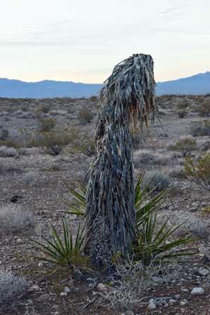Headless-Yucca.jpg