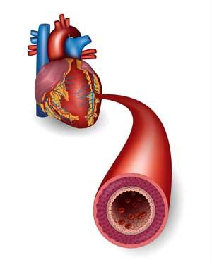 Heart_blood_vessels.jpg