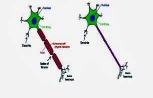 Myelinated_unmyelinated_neu.jpg
