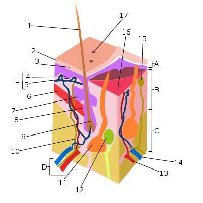 Skin-nerves.jpg