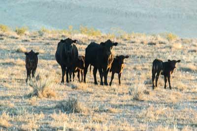 Unhappy-Cows-in-New-Mexico.jpg