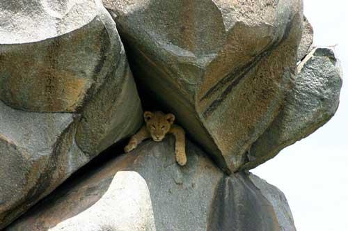 mountain-lion-hiding-rocks