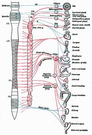 Autonomic-nervous-system.jpg