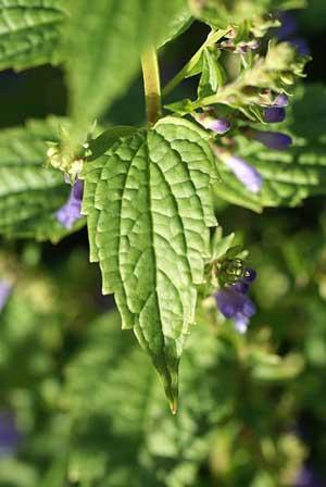 skullcap plant image