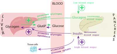 blood glucose control diagram
