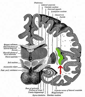 insula in brain