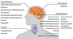 Endocrine_central_nervous_e