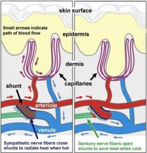 arteriole-shunts