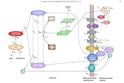 mitochondrial depletion model for ME/CFS
