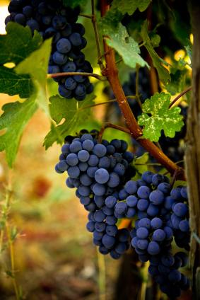 Wine Substance Beats Lyrica in Fibromyalgia Study