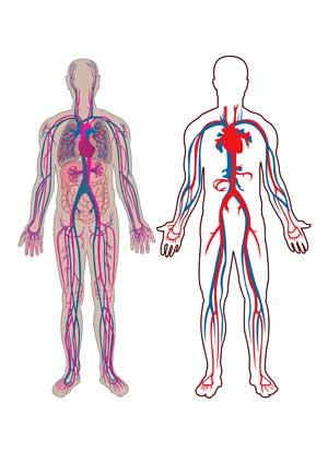 circulatory system ME/CFS