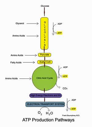 aerobic energy production chronic fatigue syndrome