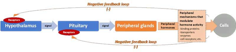 Peripheral Hormone Cascade