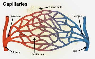 Arteries, arterioles, capillaries