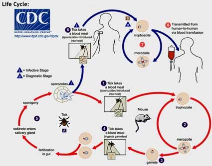 Lyme Disease Life Cycle