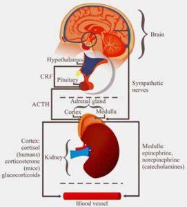 HPA axis stress response