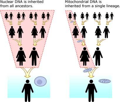 mtDNA vs nuclear DNA