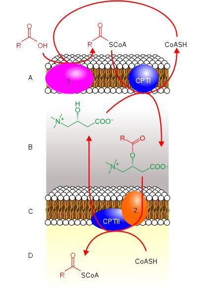 carnitine transport fatty acids