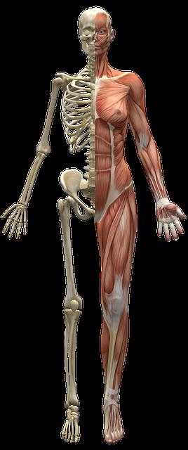 muscles fibromyalgia